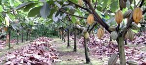 Cocoa Production Cuba